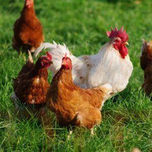 Лучшие породы кур особенности мясного и яичного направления 7