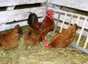 Лучшие породы кур особенности мясного и яичного направления 8
