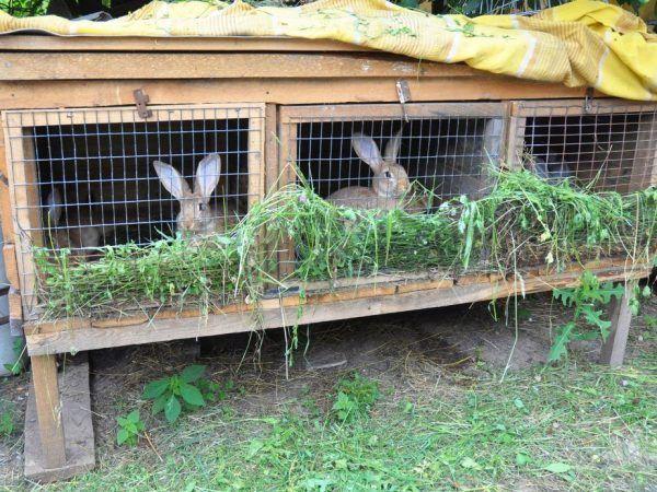 Польза и вред мяса кролика для организма человека. Питательное и вкусное мясо кролика польза и вред для организма человека, стоит его есть или нет, кому нельзя 13
