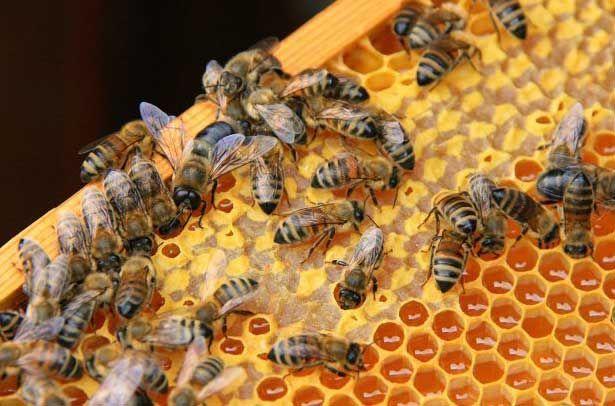 Как пчелы строят соты и делают мед 2