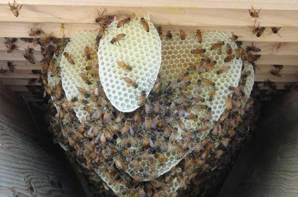 Как пчелы строят соты и делают мед 10