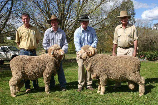 Мериносовые овцы достоинство породы, уход, ценность шерсти