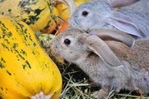 Тыква кроликам можно лиТыква кроликам можно ли 2