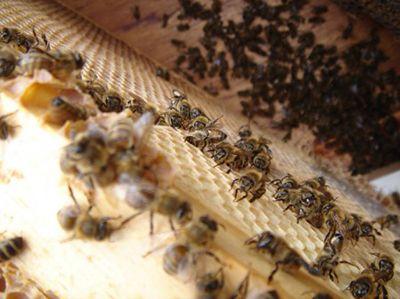 Полезные свойства, применение пчелиного подмора настойка на водке для суставов, масло для компрессов, средство для ванночек 5