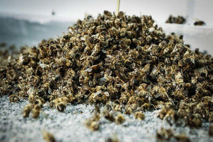 Полезные свойства, применение пчелиного подмора настойка на водке для суставов, масло для компрессов, средство для ванночек 9