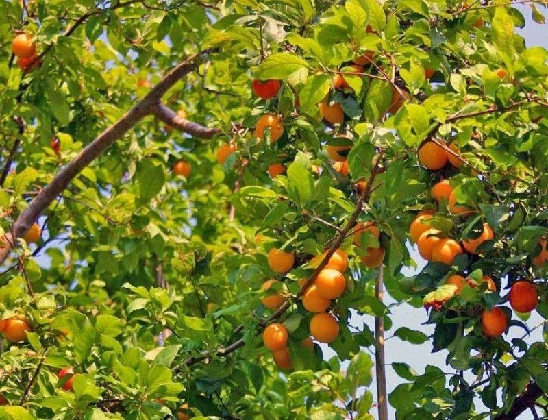 Выращивание абрикоса посадка, уход, хранение 7