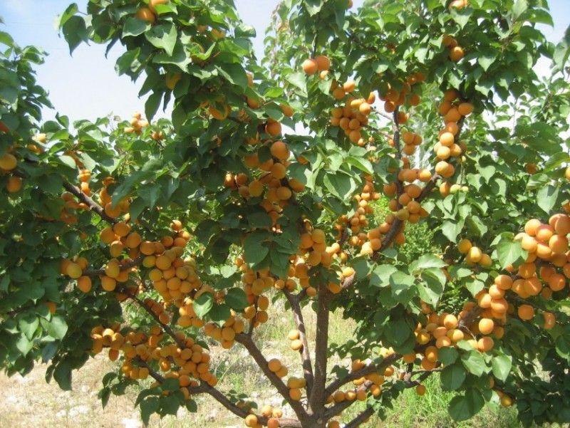 Выращивание абрикоса посадка, уход, хранение 8