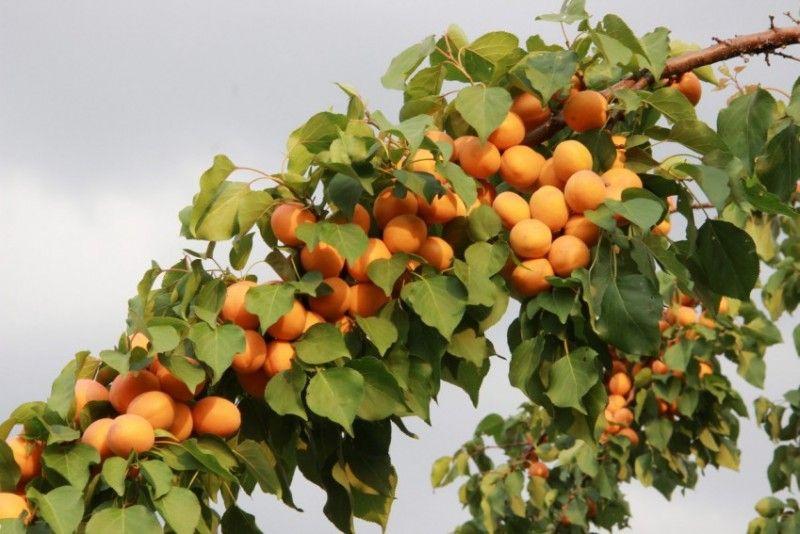 Выращивание абрикоса посадка, уход, хранение 9