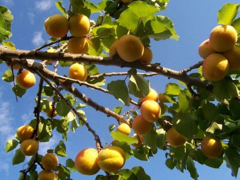Выращивание абрикоса посадка, уход, хранение 11
