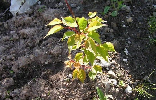 Выращивание абрикоса посадка, уход, хранение 6