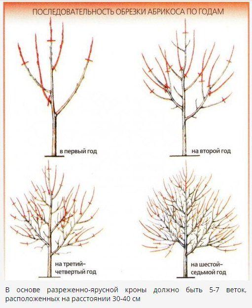 Выращивание абрикоса посадка, уход, хранение 1