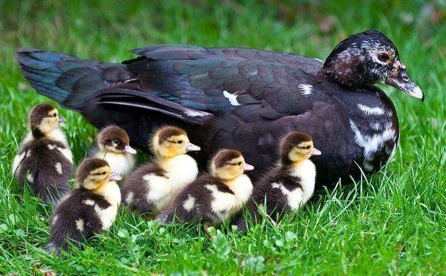 Мускусная утка - индоутка разведение, содержание, уход, фото 4