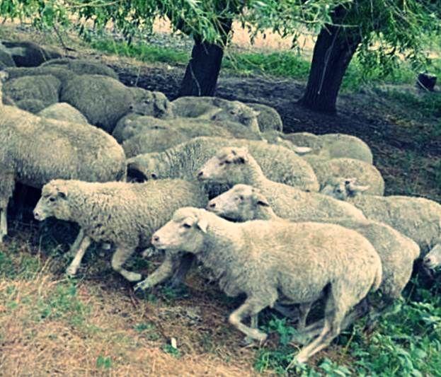Какие овцы дают много молока молочные породы