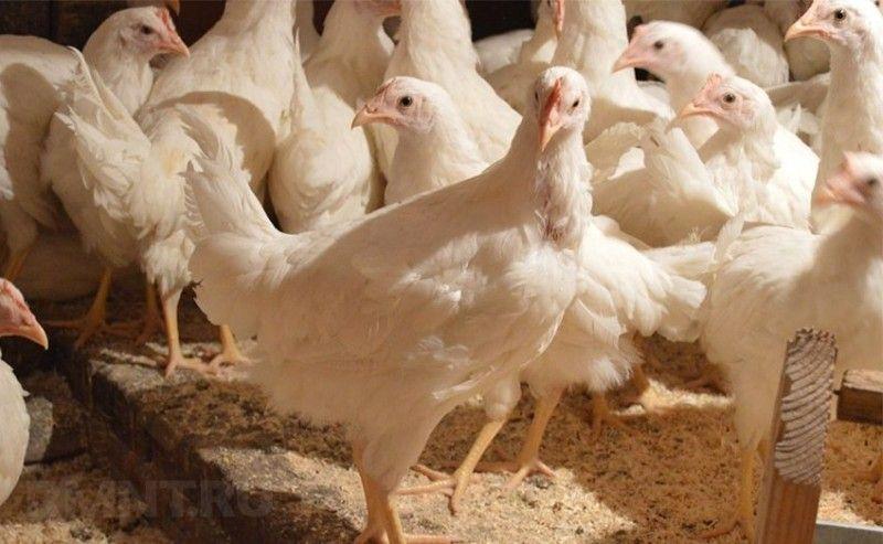 Почему куры хайсек считаются чемпионами по несению яиц 14