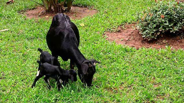 Камерунская карликовая коза 2