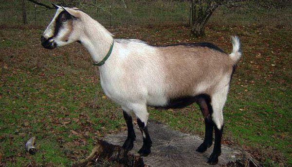 Камерунская карликовая коза 12