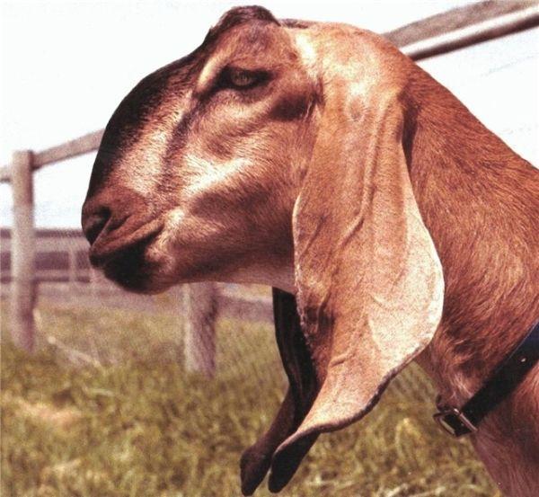 Камерунская карликовая коза 11