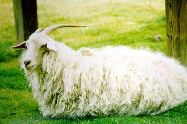 Камерунская карликовая коза 13