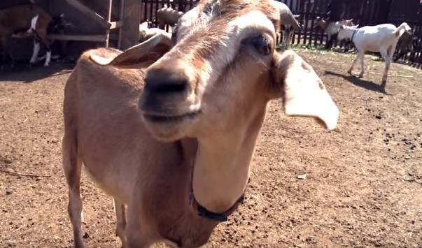 Камерунская карликовая коза 20