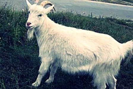 Камерунская карликовая коза 7