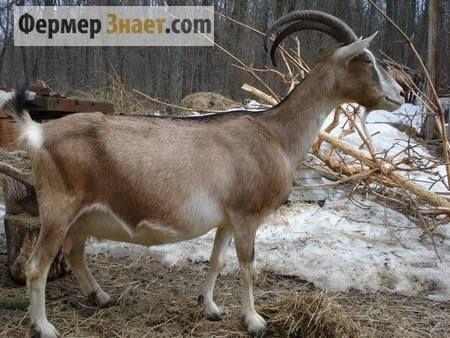 Камерунская карликовая коза 10
