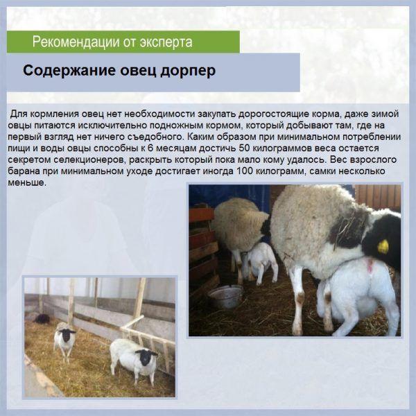 Порода овец дорпер