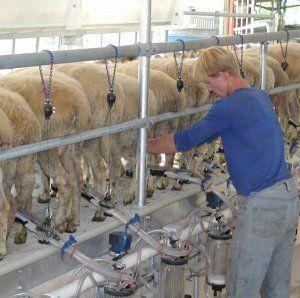 Разведение овец романовской породы на шерсть и мясо