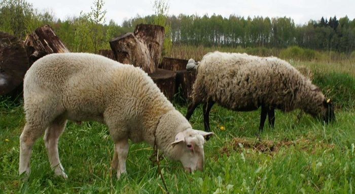 Содержание овец в домашних условиях для начинающих
