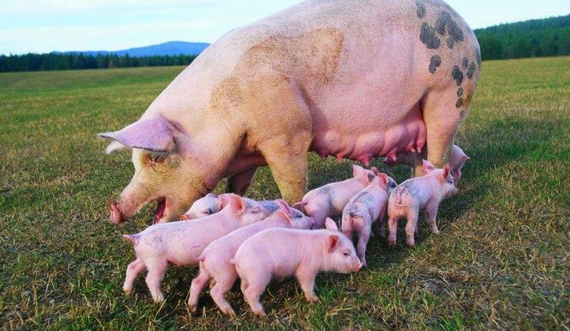Бизнес-план по разведению свиней
