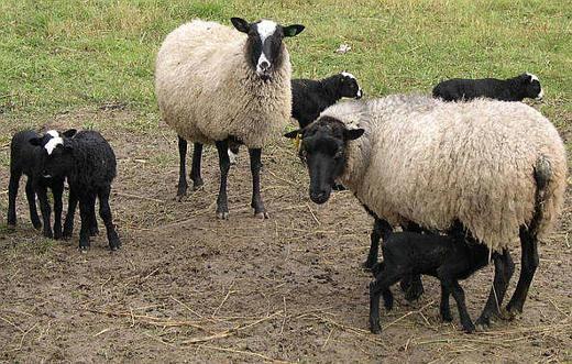 Содержание и размножение Романовской породы овец