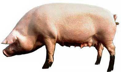 Сад и огородописание и приготовление кормов, применяемых в домашнем свиноводстве 3