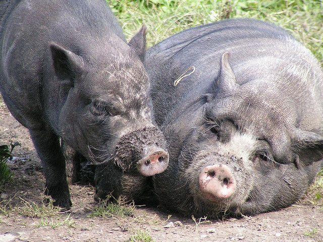 Сад и огородописание и приготовление кормов, применяемых в домашнем свиноводстве 11