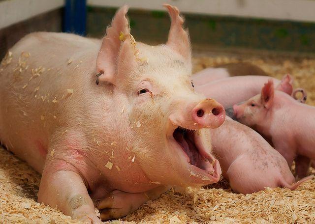Сад и огородописание и приготовление кормов, применяемых в домашнем свиноводстве 8