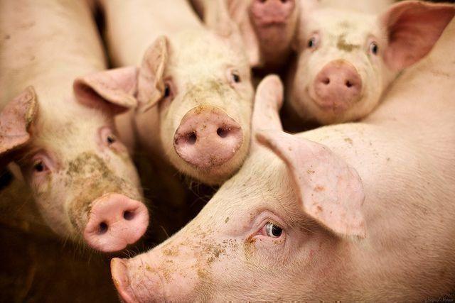 Сад и огородописание и приготовление кормов, применяемых в домашнем свиноводстве 9