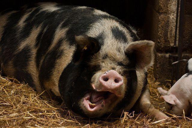 Сад и огородописание и приготовление кормов, применяемых в домашнем свиноводстве 10