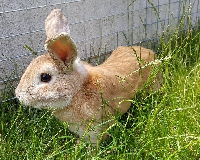 Самый большой ручной кролик в мире 9