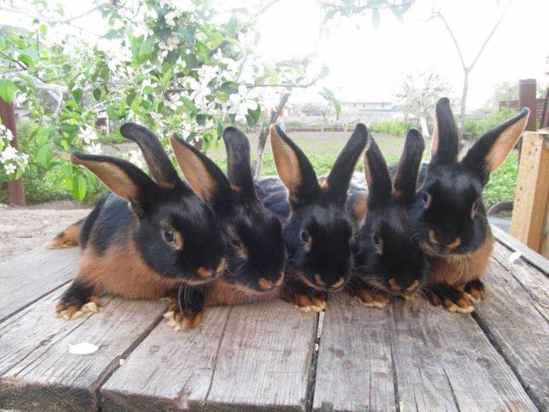 Самый большой ручной кролик в мире 1