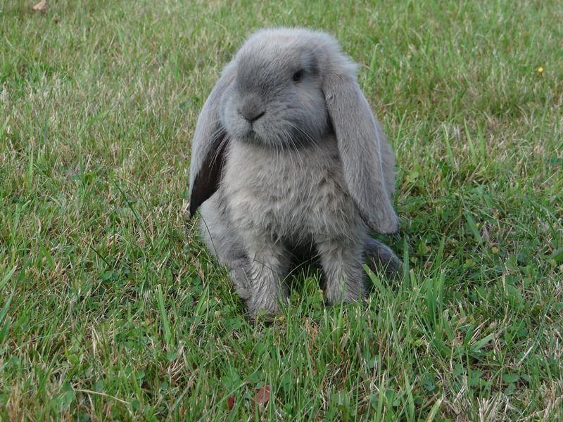 Самый большой ручной кролик в мире 15