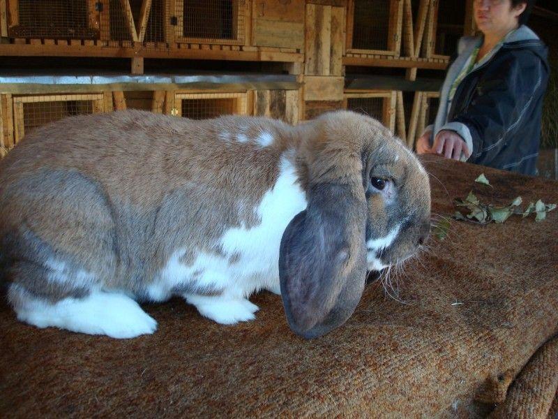 Самый большой ручной кролик в мире 19