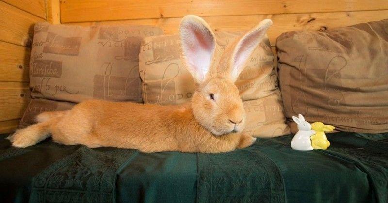 Самый большой ручной кролик в мире 20