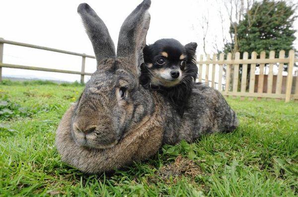 Самый большой ручной кролик в мире 23