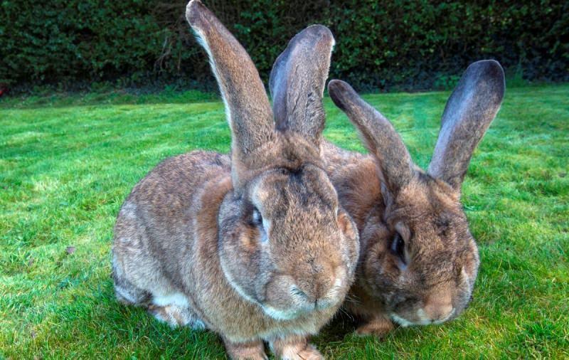 Самый большой ручной кролик в мире 4