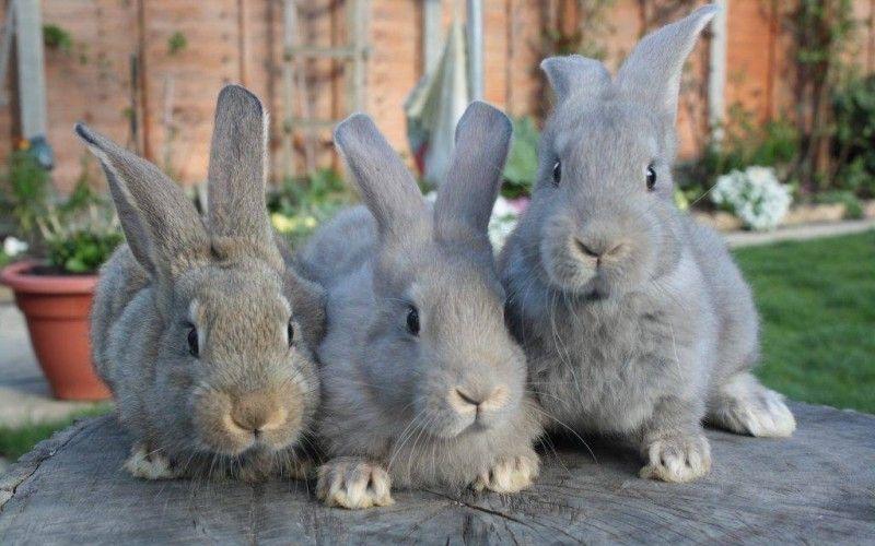 Самый большой ручной кролик в мире 5