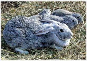 Самый большой ручной кролик в мире 6