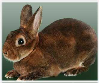 Самый большой ручной кролик в мире 7