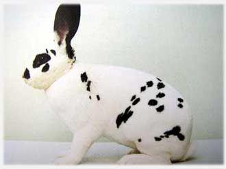 Самый большой ручной кролик в мире 8