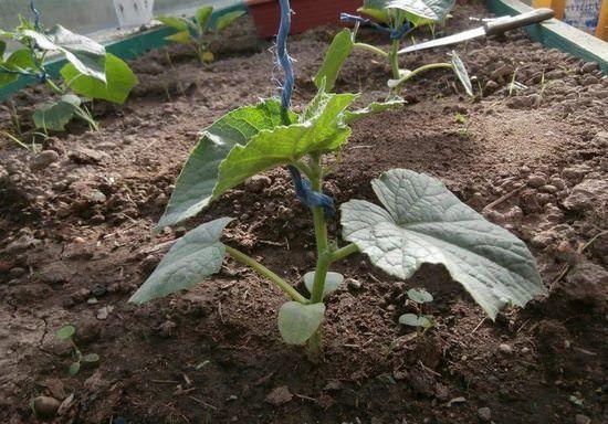Огурцы выращивание рассады из семян, посадка в открытый грунт и уход 4