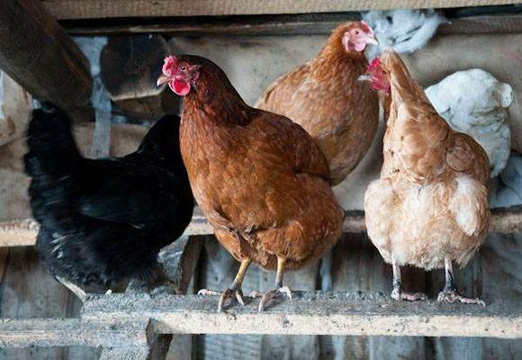 Сколько яиц несет курица в день, месяц и год 4