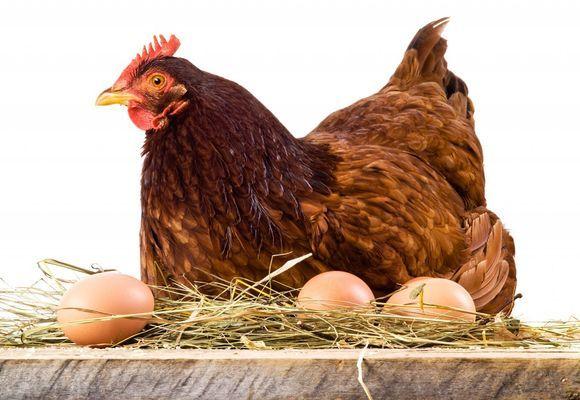 Сколько яиц несет курица в день, месяц и год 6