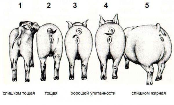 Ориентировочная таблица веса свиней 2